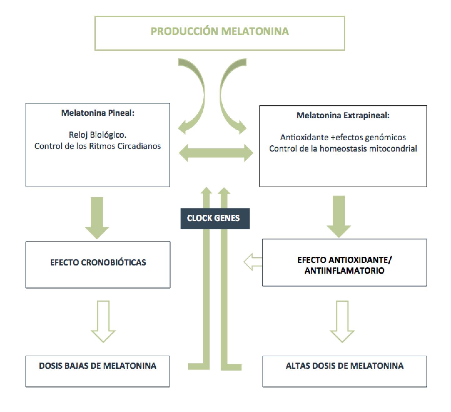 Melatonina_Esquema-de-producción-de-la-melatonina